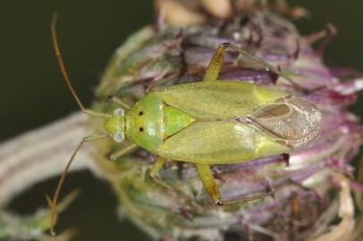 Closterotomus norwegicus
