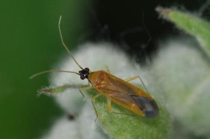 Phylus melanocephalus