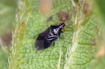 Orius niger