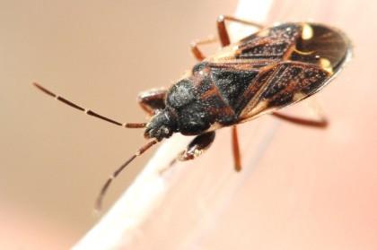 Eremocoris podagricus