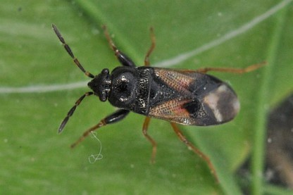 Megalonotus praetextatus