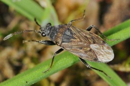 Peritrechus geniculatus