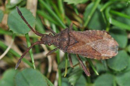 Coriomeris denticulatus