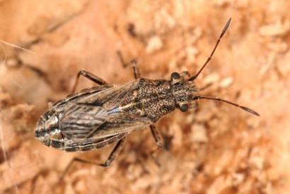 Ortolomus punctipennis