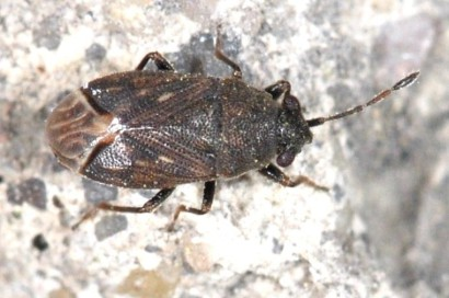 Stygnocoris fuligineus