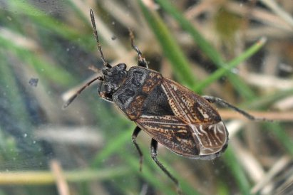 Trapezonotus arenarius