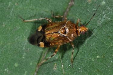 Deraeocoris flavilinea