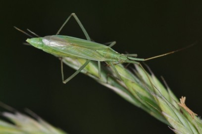 Megaloceroea recticornis