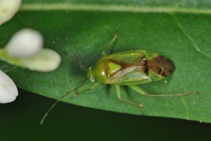 Neolygus viridis