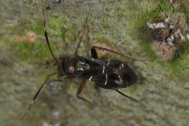 Pilophorus clavatus