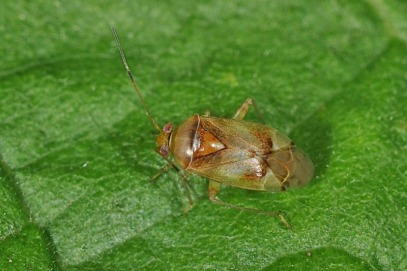 Pinalitus cervinus