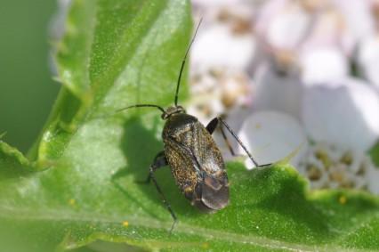 Polymerus nigrita