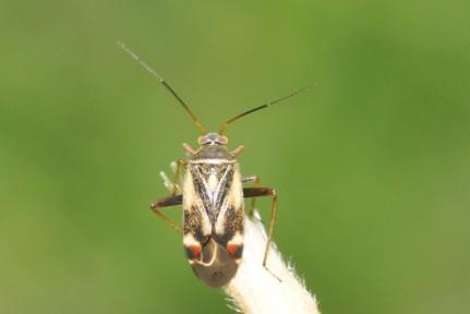 Polymerus unifasciatus
