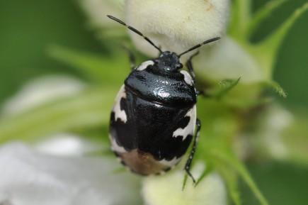 Tritomegas bicolor