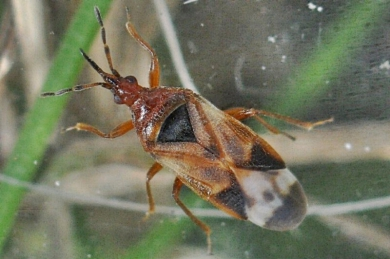 Anthocoris minki