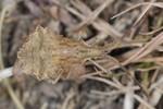 Syromastus rhombeus - Larve