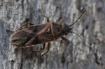 Arocatus longiceps