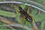 Megalonotus antennatus