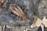 Ortholomus punctipennis