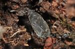 Stygnocoris rusticus