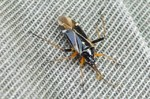 Harpocera thoracica - Männchen