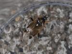 Harpocera thoracica - Weibchen