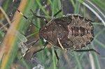 Rhaphigaster nebulosa - Larve