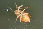 Agnolcoris sp. Larve