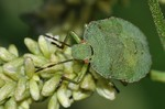 Palomena prasina - Larve