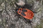 Pyrrhocoris apterus - Larve