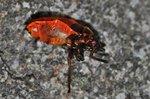 Pyrrhocoris apterus  - Kannibalismus