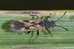 Ischnodemus sabuleti