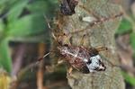 Deraeocoris flavilinea Larve