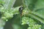 Orthonotus rufifrons