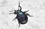 Zicrona caerulea
