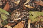 Nysius ericae - Larve