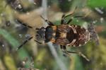 Scolopostethus thomsoni (Larve)