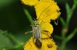 Adelphocoris quadripunctatus