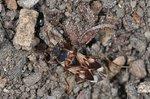 Scolopostethus pictus