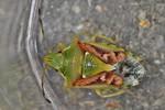 Cyphostethus tristriatus