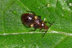 Anthocoridae Larve