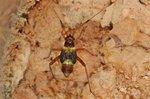 Closterotomus fulvomaculatus Larve