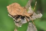 Coreus marginatus - Larve