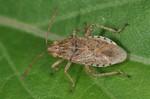 Stictopleurus abutilon