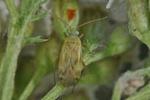 Megalocoleus molliculus