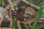 Eurygaster testudinaria Larve