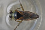 Notonecta maculata