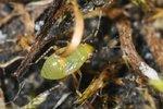 Chlamydatus pulicarius