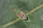 Conostethus venustus