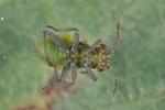 Conostethus venustus Larve